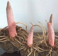 Konjac Root can suppress appetite