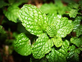 Peppermint weight loss